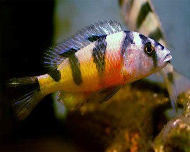 Aquariumdomain Com Cichlids African Cichlids Salt Water Fishing