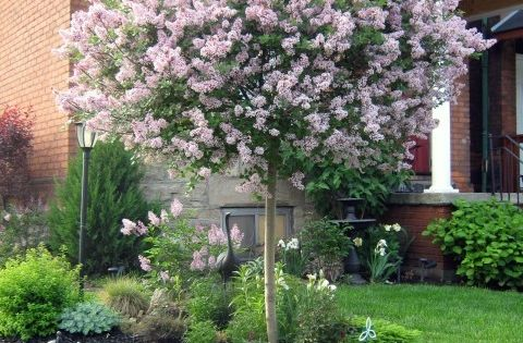 dwarf lilac tree block out neighbors so want one in my backyard love there smell front yard. Black Bedroom Furniture Sets. Home Design Ideas