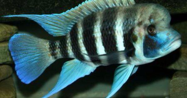Kigoma Frontosa African Cichlids Cichlid Fish Cichlids