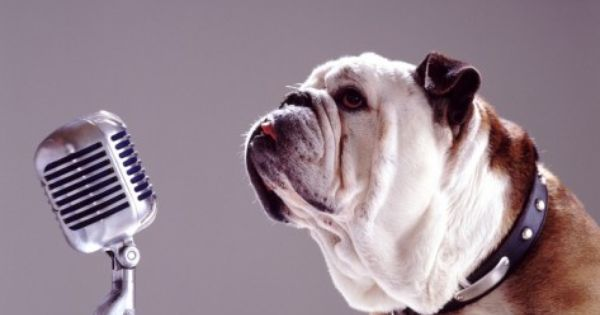 Bulldog Preparing To Sing Into Microphone Photographic Print By