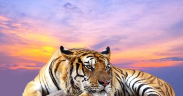 Tiger At Sunset 4k Ultra Hd Wallpaper 4k Wallpaper Net Jigsaw Puzzle Puzzles Puzzle