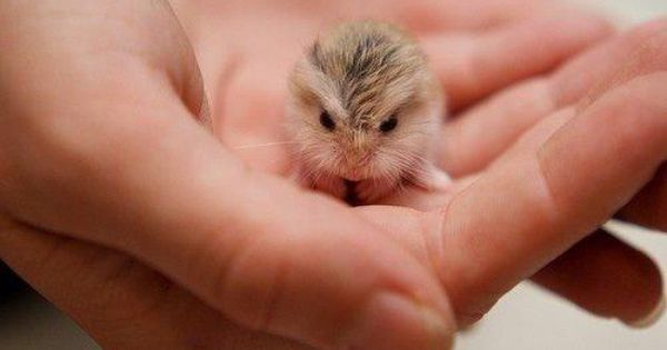 Baby Hamster Cute Animals Cute Baby Animals Animals Beautiful