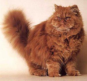The Gentle Persian Cat Beautiful Cats Kittens Persian Kittens