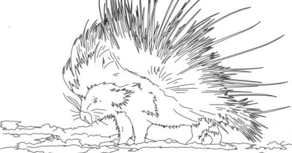 Cape Porcupine Coloring Page Super Coloring Animal Coloring Pages Coloring Pages Free Printable Coloring Pages