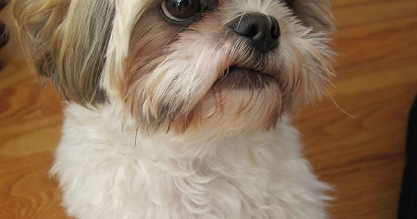 adorable white and brown shih tzu shih tzu love