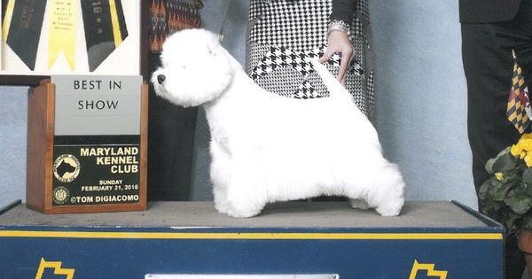 Gch Lotrando Sunshine Celebration Bullseye World White Terrier West Highland White Terrier Dogs