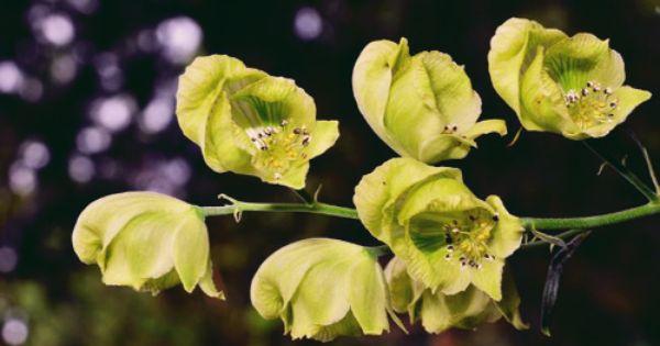Aconitum coreanum