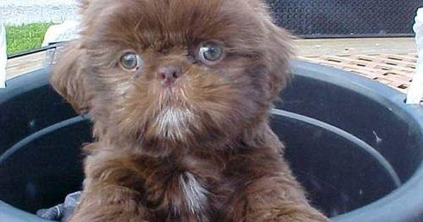 Chocolate Shih Tzu Puppies Shih Tzu Puppies Shih Tzu Puppy