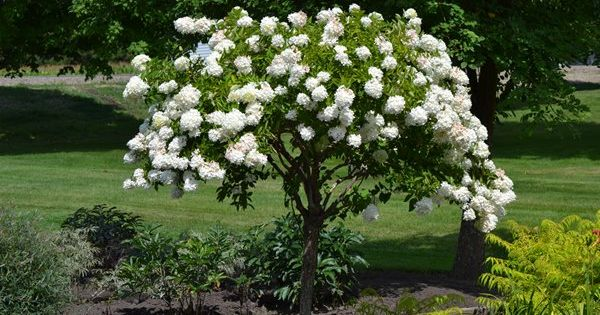 Ornamental trees part shade zone 8 peegee hydrangea for Small dwarf ornamental trees