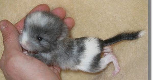 omg ssooo cute Baby Chinchilla