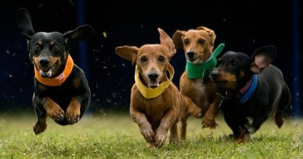 Weiner Dog Races These Dogs Are Stubborn And Do What They Want To