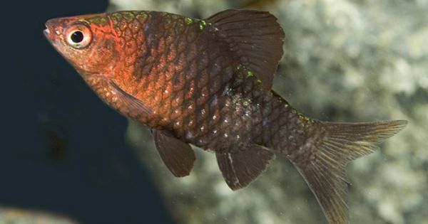Barb Black Ruby Med Pethia Nigrofasciata Segrest Farms Tropical Fish Colorful Fish Freshwater Aquarium Fish