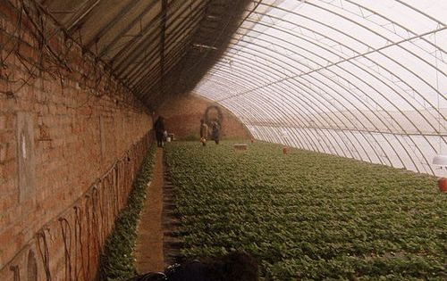 Strawberries In Chinese Solar Greenhouse From An Article