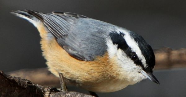 20 Amazing Animals That Start With The Letter N Pet Birds Backyard Birds Nuthatch