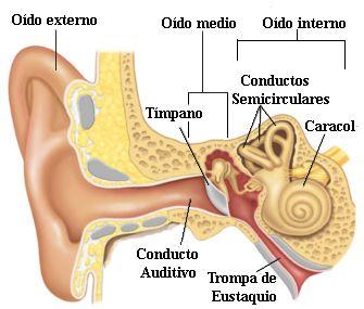 Anatomía Del Oído Organos De Los Sentidos Oido Humano