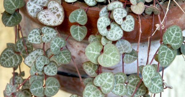Conseils de culture et d 39 entretien pour le ceropegia ou for Chaine de coeur plante entretien