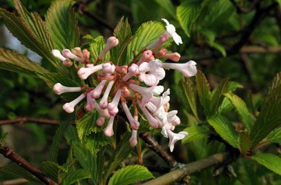 Viburnum Farreri Farrer Viburnum Rhs Gardening Fragrant Plant Viburnum Plants