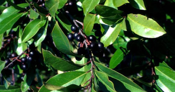 Cherry Laurel Is A Large Evergreen Shrub Or Small Tree