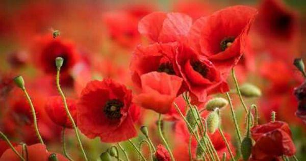 Pin Von Lia Zandonai Auf Flowers Mohnblume Mohn Mohnfelder
