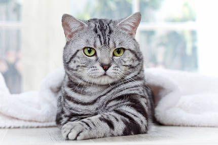 Ebay Kleinanzeigen Katzen Rassen Baby Katzen Bkh Katzen