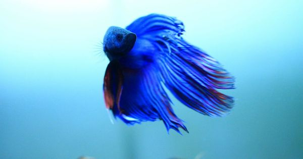 New basic betta fish care 101 betta fish for beginners for Healthy betta fish