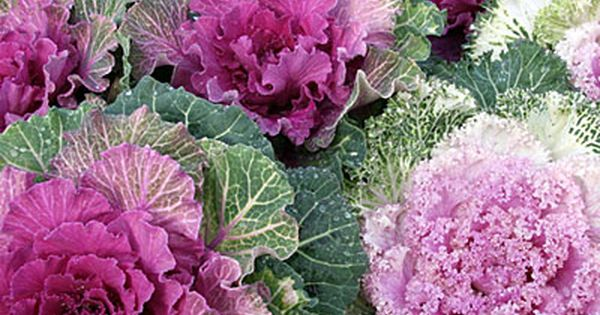Ornamental kale - Best Winter Flowers for Color - Sunset