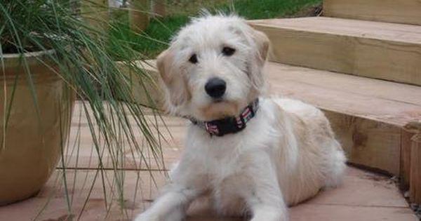 Image Result For First Generation Labradoodle Labradoodle Dog