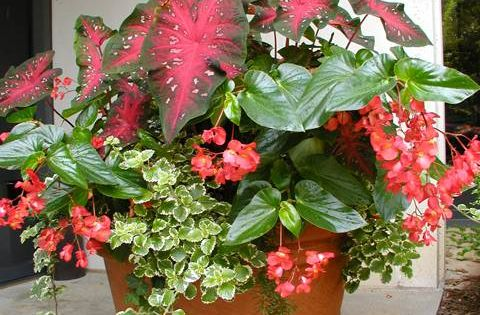 Shade: Caladium, dragonwing begonias, trailing mintleaf (plectranthus) - perfect for a shady