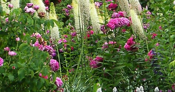 stachys, roses, foxtails....the perfect making of a true English garden
