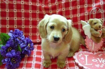 Specializing In English Cream Dachshunds Bennys Dachshunds Dachshund Cream Dachshund Dachshund Puppy