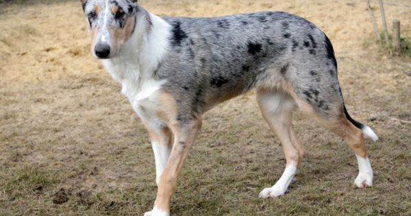 Blue Merle Smooth Collie Annika Vom Kleinen Sonnenberg Smooth