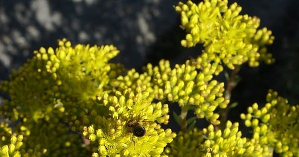 Photo De Plante Grasse Orpin Des Rochers Sedum Reflechi