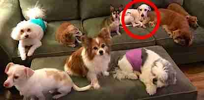 Dog Saved From Puppy Mill Didn T Even Know How To Sleep Lying Down