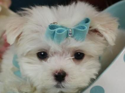 Teacup Maltese Puppies For Sale Florida Maltese Teacup Maltese