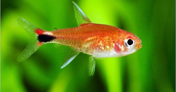 Columbian Ruby Red Tropical Tetra Arizona Aquatic Gardens Tropical Freshwater Fish Aquarium Fish Tetra
