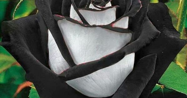 The Black Rose is found in a region in Turkey called Halfatty.