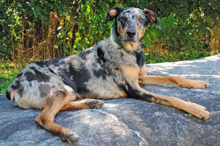 Finny The Doberman Mix Unique Dog Breeds Australian Shepherd
