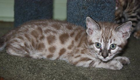 Mink Snow Bengal Mink Bengal Bengal Cat Bengal Kitten Bengal Cat For Sale