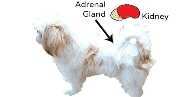 Addison S Disease A Problem For Shih Tzu Dogs Addisons Disease Shih Tzu Dog Shih Tzu