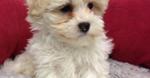 Petland Blog Havanese Puppies For Sale Maltese Puppies For Sale Puppies For Sale