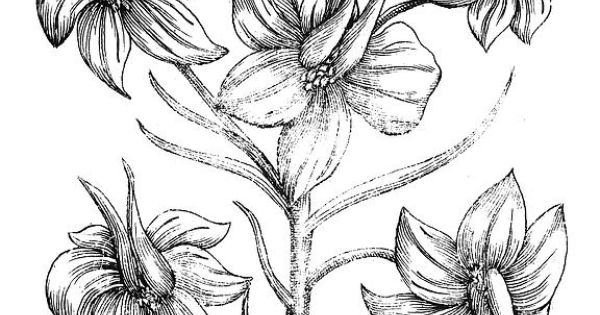 Black And White Drawing Larkspur Flower