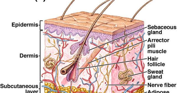 integumentary system worksheets study materials pinterest. Black Bedroom Furniture Sets. Home Design Ideas