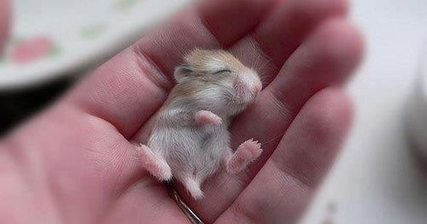 Baby hamster; Tiny Adorable Animals That Will Make You Squee