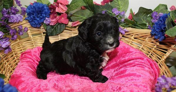 Litter Of 6 Cavachon Puppies For Sale In Colville Wa Adn 63323 On Puppyfinder Com Gender Female Age 6 Weeks Old Cavachon Puppies Puppies For Sale Cavachon