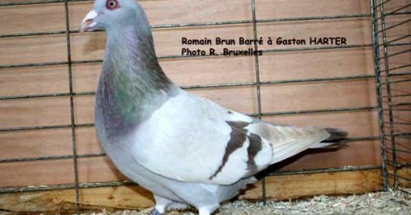 حمام روماني Rare Birds Beautiful Birds Kinds Of Birds