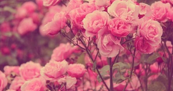 rose background tumblr - Google Search | Flores y plantas ... Pink Roses Wallpaper Tumblr