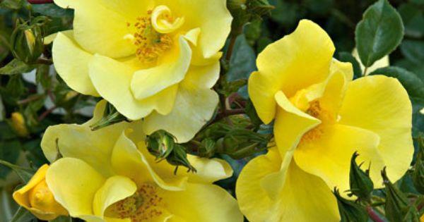 Rose Limoncello Landscape Shrub Rose Floribunda Blooms In Clusters Almost Non Stop From June Through Septemb Shrub Roses White Flower Farm Fragrant Garden