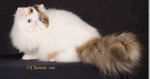 Famous Cat Purrinlot S Anna S Gift Worlds First Blue Eye Bicolor