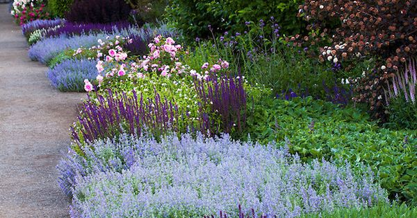 Perennial Border With Low Flowering Sages Salvia Nemerosa