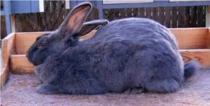 American Blue White Rabbit Club Rabbit Breeds Rabbit